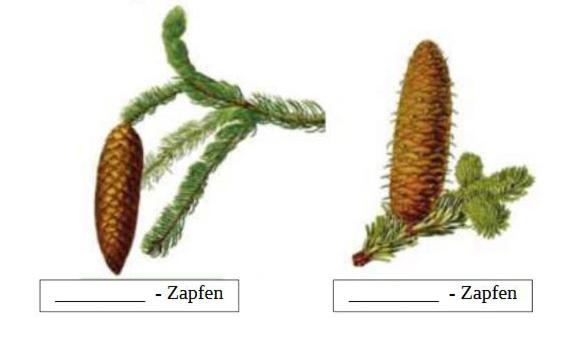 zapfen